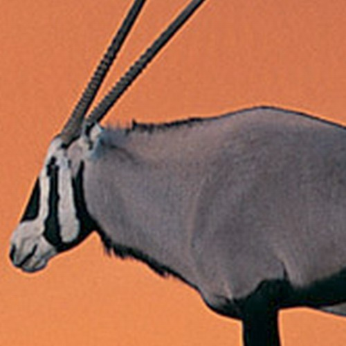 Oryx_Antelope_ForcedEnlarge