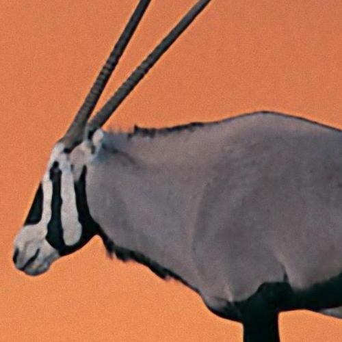 Oryx_Antelope_ImageEnlarger