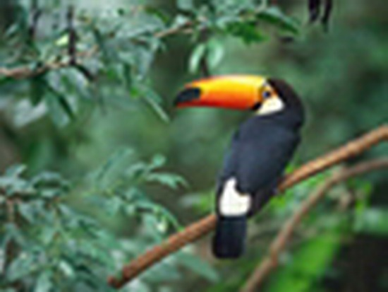 Toco Toucan_ForcedEnlarge
